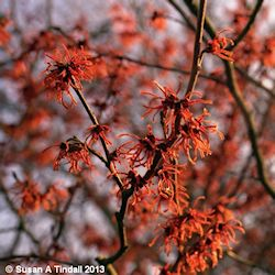 longacres_blog_witch_hazel