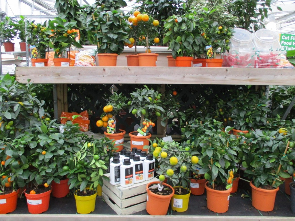 Citrus Plants at Longacres