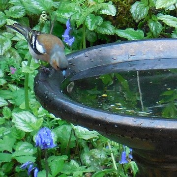 Wild Bird Baths