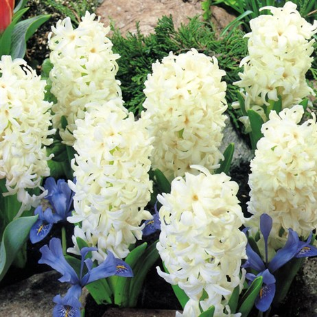 10.5cm Hyacinth White Potted Bulbs - 3 Pack