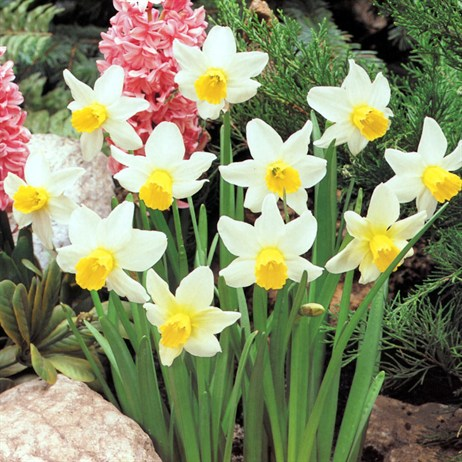 10.5cm Narcissus Topolino Potted Bulbs - 3 Pack