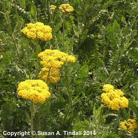 Achillea Filipendulina 'Cloth Of Gold' in a 9cm Pot