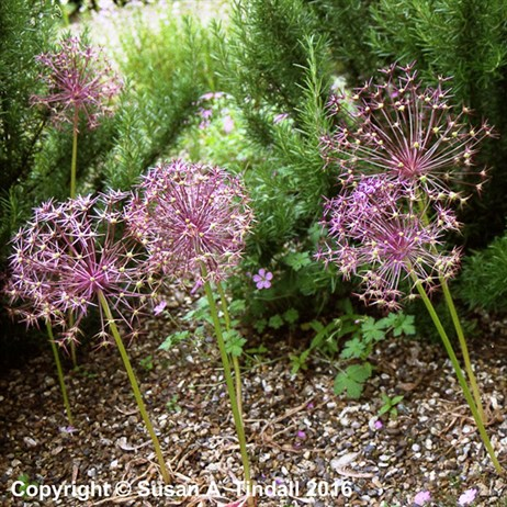 Allium Schubertii Perennial in a 2L Pot