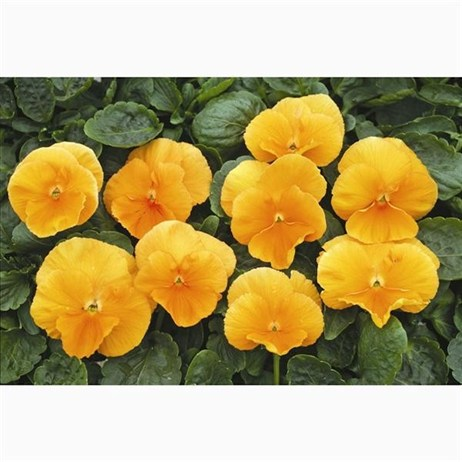 Pansy F1 Deep Orange 6 Pack Boxed Bedding