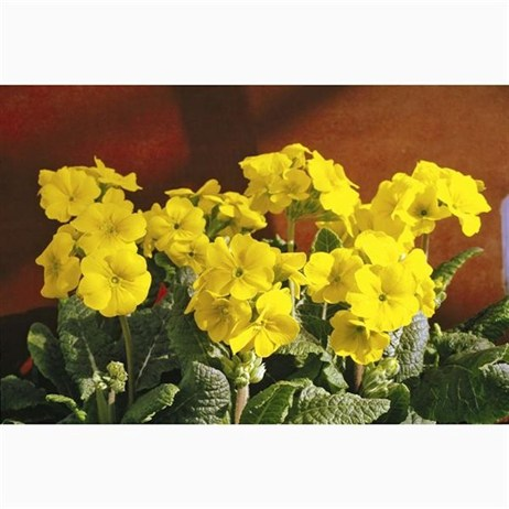 Polyanthus F1 Crescendo Yellow 6 Pack Boxed Bedding