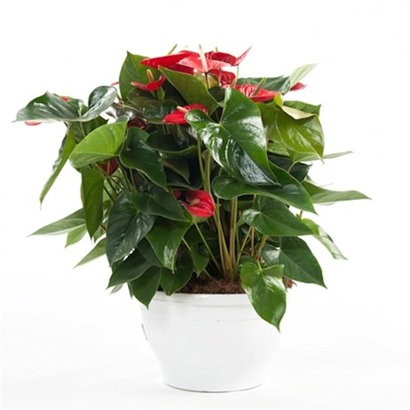 Anthurium Andr. 'Bugatti Red' - 30cm X 65cm Pot