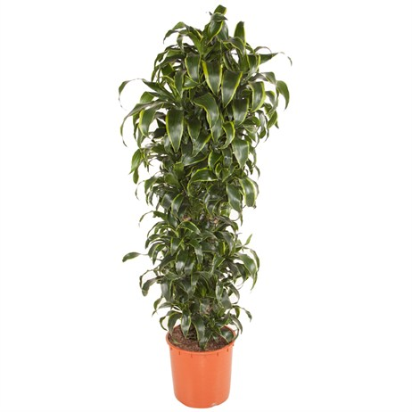Dracaena Fragrans Dorado Branched In A 34cm x 170cm Pot