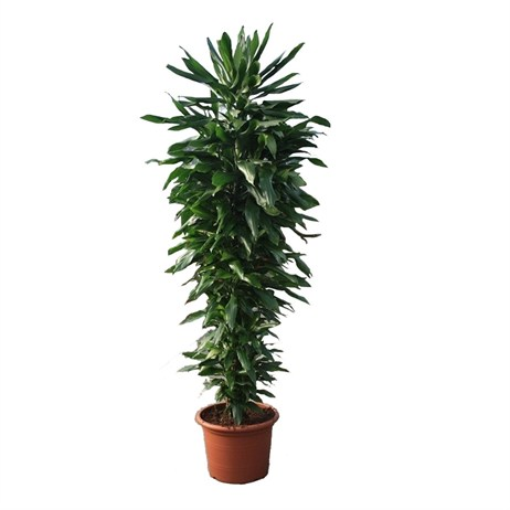 Dracaena Janet Lind Branched In A 45cm x 250cm Pot