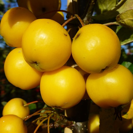 Malus 'Golden Hornet'