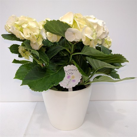 Hydrangea Cream In White Ceramic Pot - 14cm Mother's Day Plant