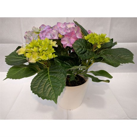 Hydrangea Pink In White Ceramic Pot - 14cm Mother's Day Plant