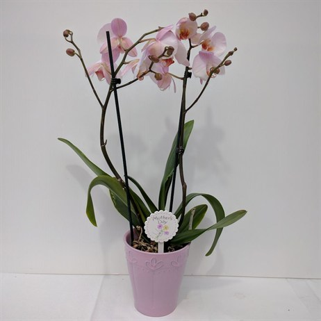 Pale Pink Phaleonopsis Orchid Pink Pot - 12cm Mother's Day Plant