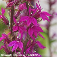 Lobelia Tania in a 9cm Pot