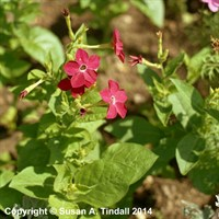 Nicotiana Domino Red 12 Pack Boxed Bedding