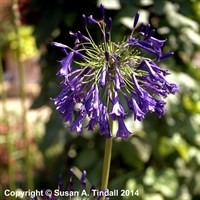 Agapanthus 'Purple Cloud' in a 2L Pot