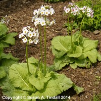 Primula Postford White in a 9cm Pot