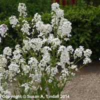 Hesperis matronalis white in a 9cm Pot