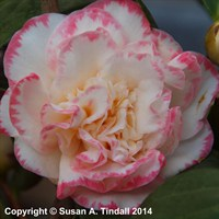 Camellia Margaret Davies in a 3L Pot