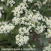 Crambe Maritima in a 9cm Pot