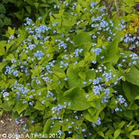Brunnera Macrophylla in a 9cm Pot