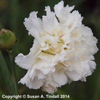 Dianthus Mrs Sinkins in a 9cm Pot