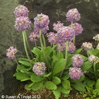 Primula Denticulata 6 Pack Boxed Bedding