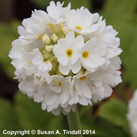 Primula Denticulata Alba in a 9cm Pot