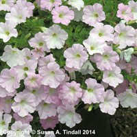 Petunia (Trailing) Wave Pearly 6 Pack Boxed Bedding