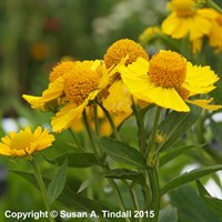 Helenium Kanaria in a 9cm Pot