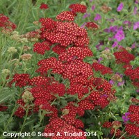 Achillea 'Red Velvet' in a 2L Pot