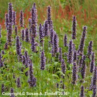 Agastache 'Black Adder' in a 2L Pot