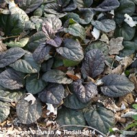 Ajuga rep Catlins Giant in a 9cm Pot