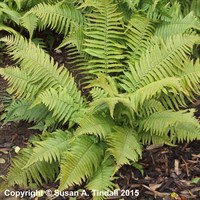 Dryopteris Crassirhizoma in a 9cm Pot