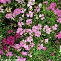 Dianthus Alpinus 6 Pack Boxed Bedding