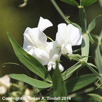 Lathyrus latifolius White Pearl in a 9cm Pot