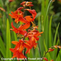 Crocosmia Babylon in a 9cm Pot