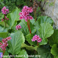 Bergenia Morgenrote in a 9cm Pot