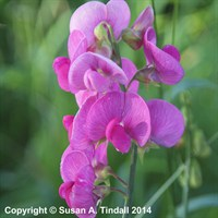 Lathyrus latifolius Red Pearl in a 9cm Pot