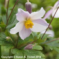 Anemone Wild Swan in a 9cm Pot