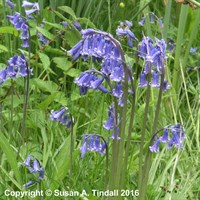Bluebells English 10.5cm Potted Bulbs