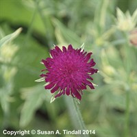 Knautia mac Thunder & Lightning in a 9cm Pot