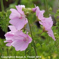 Malva moschata rosea in a 9cm Pot