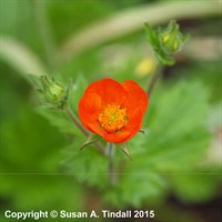 Geum Coccineum 'Koi' in a 9cm Pot