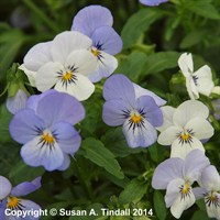 Viola F1 Yesterday Today Tomorrow 6 Pack Boxed Bedding