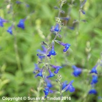 Salvia 'Violin Music' in a 9cm Pot