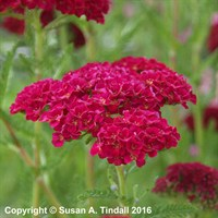 Achillea 'Pomegranate' in a 2L Pot