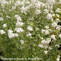 Hesperis matronalis violet in a 9cm Pot