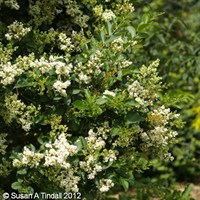 Ligustrum ovalifolium in a 3L Pot
