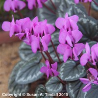 Cyclamen Coum in a 9cm Pot