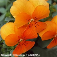 Viola F1 Penny Orange 6 Pack Boxed Bedding